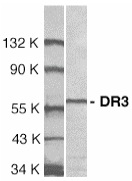 Anti Human DR3 (Ed) Antibody thumbnail image 1