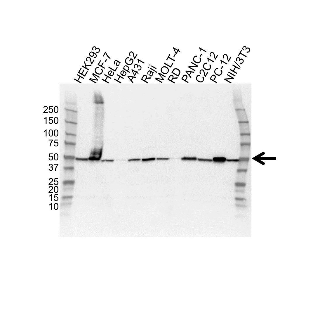 Anti EEF1A2 Antibody (PrecisionAb™ Polyclonal Antibody) gallery image 1