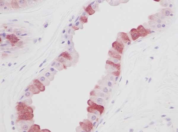 Anti Human EGF Antibody thumbnail image 1