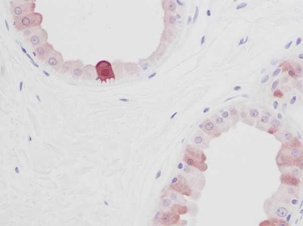 Anti Human EGF Antibody thumbnail image 2