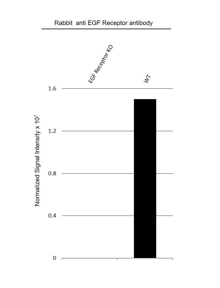 Anti EGF Receptor Antibody (PrecisionAb Polyclonal Antibody) thumbnail image 3