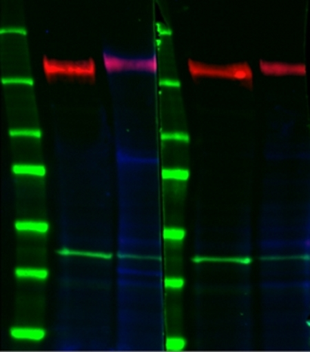 Anti EGF R (pTyr1068) Antibody thumbnail image 1