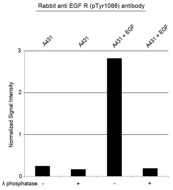 Anti EGF R (pTyr1086) Antibody thumbnail image 2