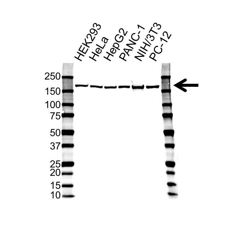 Anti EIF3A Antibody (PrecisionAb™ Polyclonal Antibody) gallery image 1