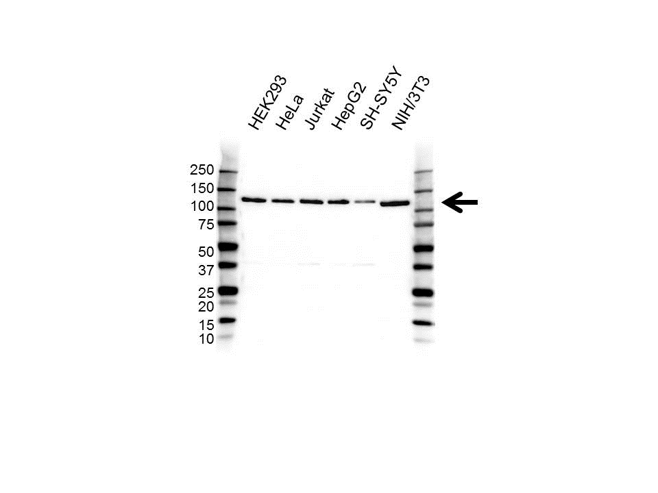 Anti EIF3B Antibody (PrecisionAb™ Polyclonal Antibody) gallery image 1