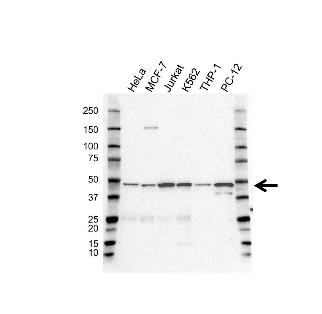 Anti EIF3E Antibody (PrecisionAb™ Polyclonal Antibody) gallery image 1
