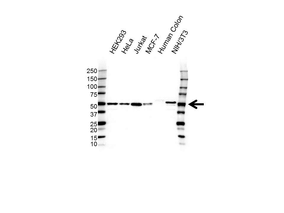 Anti EIF3F Antibody (PrecisionAb Polyclonal Antibody) gallery image 1