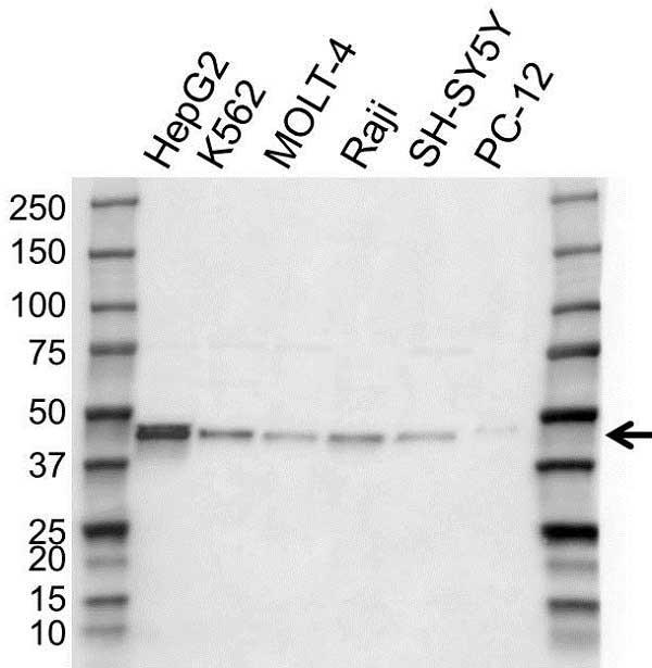 Anti EIF3G Antibody (PrecisionAb Polyclonal Antibody) gallery image 1