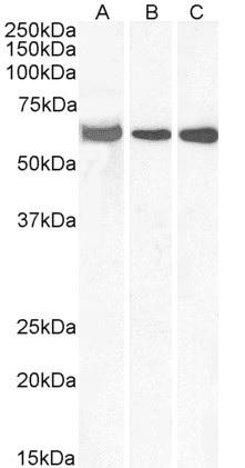 Anti ELF1 Antibody thumbnail image 1