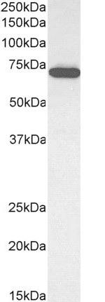 Anti ELF1 Antibody thumbnail image 2