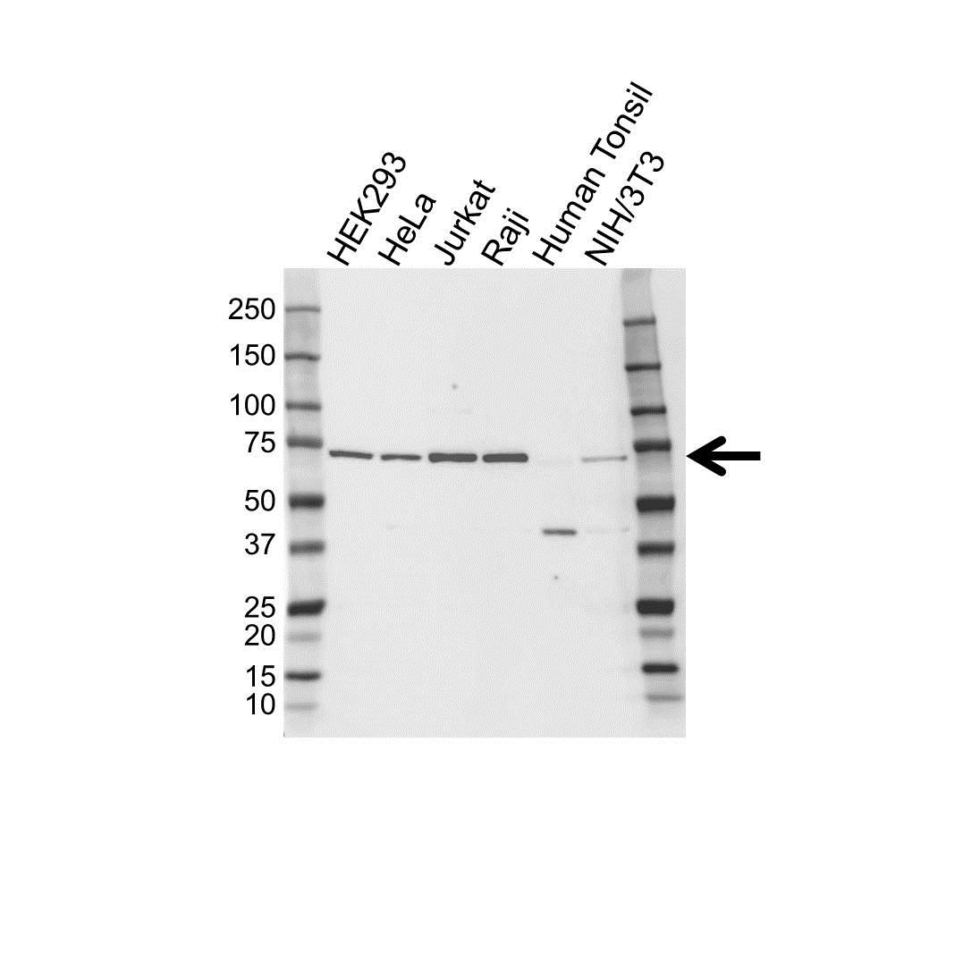 Anti ELF1 Antibody (PrecisionAb™ Polyclonal Antibody) gallery image 1