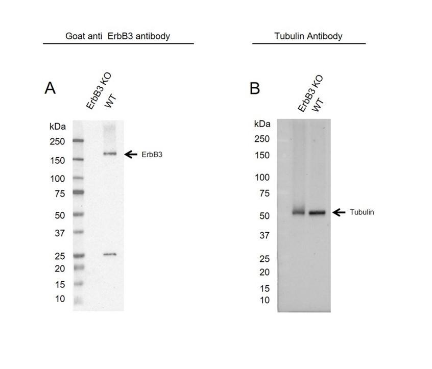 Anti ErbB3 Antibody (PrecisionAb Polyclonal Antibody) thumbnail image 2