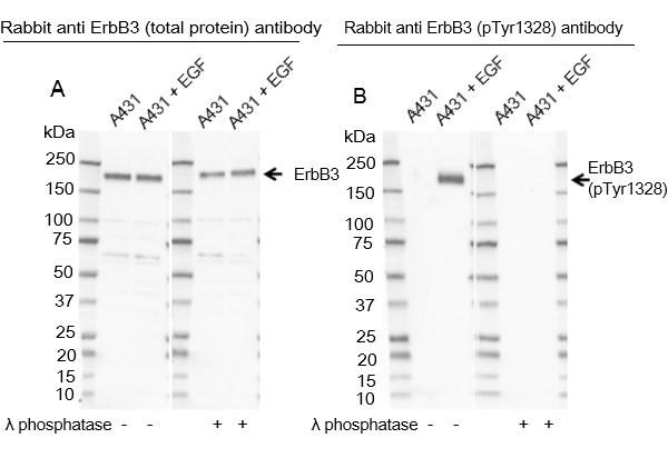 Anti ErbB3 (pTyr1328) Antibody thumbnail image 1