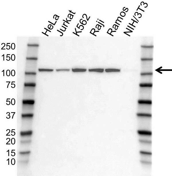 Anti EXPORTIN-1 Antibody (PrecisionAb Polyclonal Antibody) gallery image 1