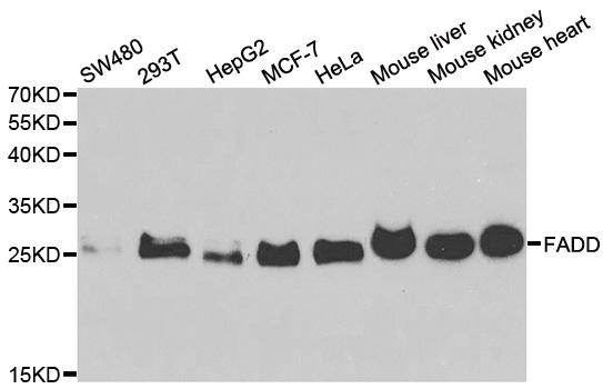 Anti FADD Antibody thumbnail image 1