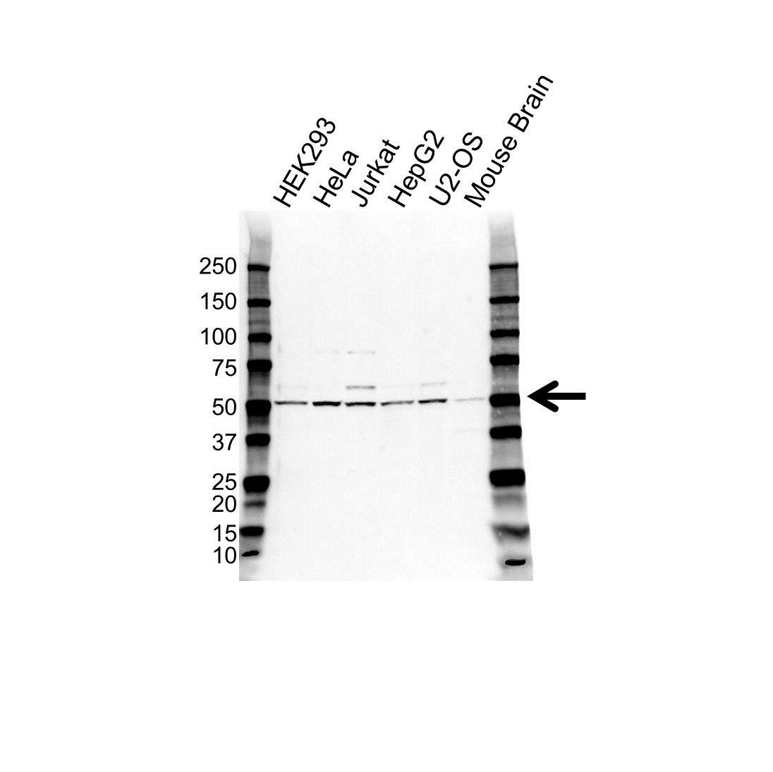 Anti FAF2 Antibody (PrecisionAb™ Polyclonal Antibody) gallery image 1