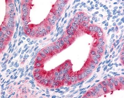 Anti Human FAP Alpha Antibody gallery image 1