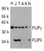 Anti FLIP Gamma/Delta Antibody (PrecisionAb Polyclonal Antibody) thumbnail image 3