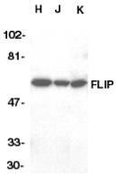 Anti Human FLIP L (C-Terminal) Antibody thumbnail image 1