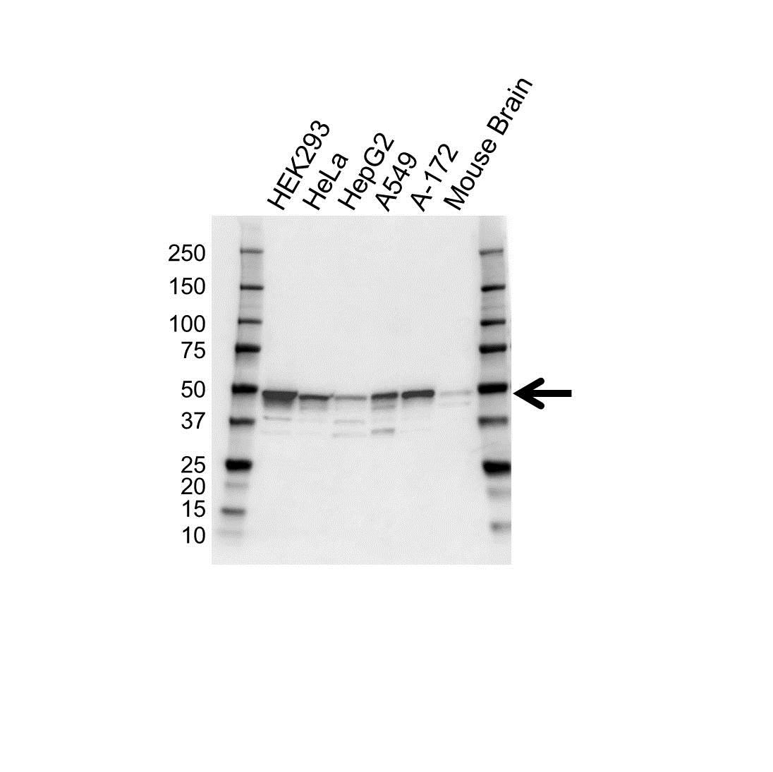 Anti FLOTILLIN-2 Antibody (PrecisionAb™ Polyclonal Antibody) gallery image 1