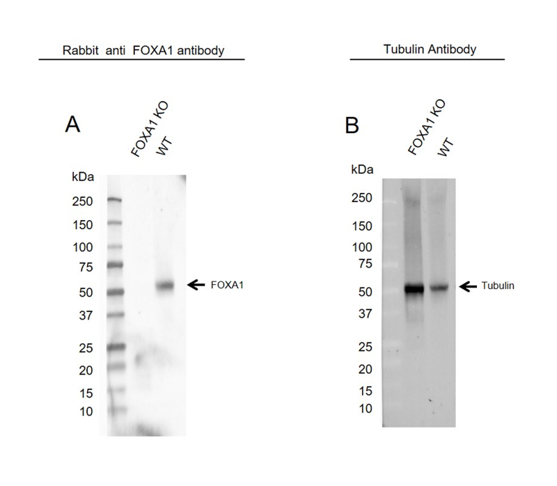 Anti FOXA1 Antibody (PrecisionAb Polyclonal Antibody) thumbnail image 2