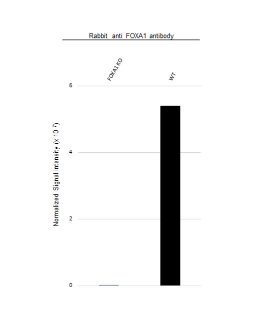 Anti FOXA1 Antibody (PrecisionAb Polyclonal Antibody) thumbnail image 3