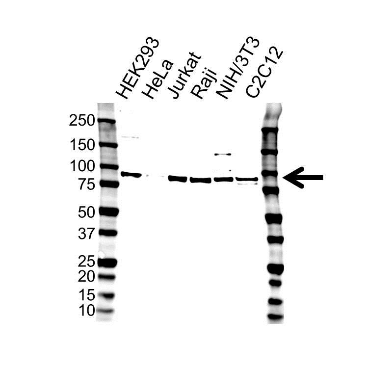 Anti FUSE-Binding Protein 2 Antibody (PrecisionAb Polyclonal Antibody) gallery image 1