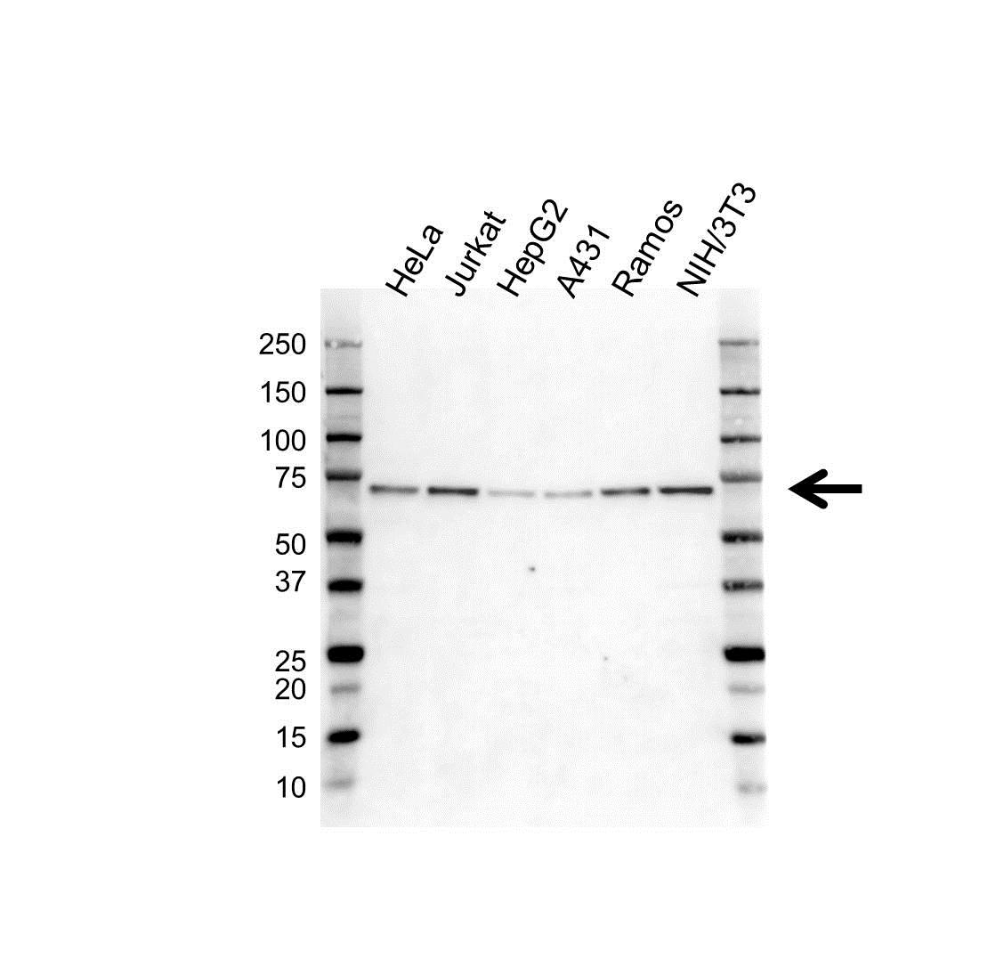 Anti G3BP1 Antibody (PrecisionAb Polyclonal Antibody) gallery image 1
