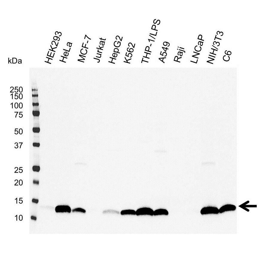 Anti Galectin-1 Antibody (PrecisionAb Polyclonal Antibody) gallery image 1
