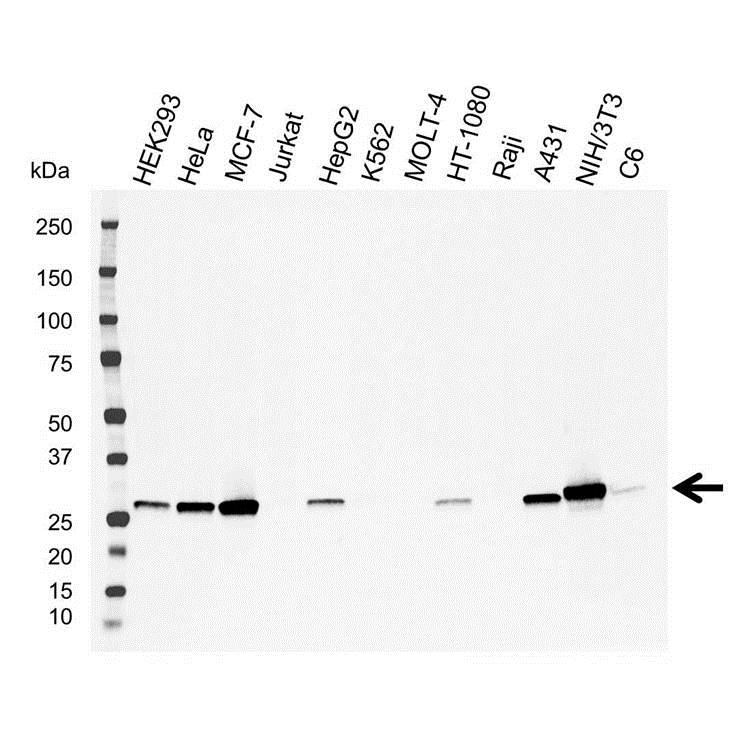 Anti Galectin-3 Antibody (PrecisionAb Polyclonal Antibody) thumbnail image 1