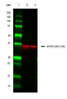 Anti GAPDH (N-Terminal) Antibody thumbnail image 3