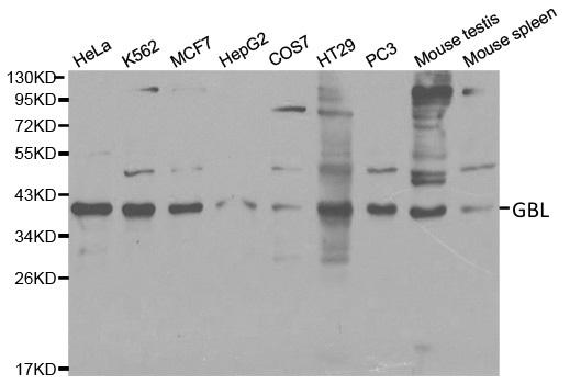 Anti Gbl Antibody gallery image 1