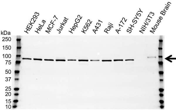 Anti GGA3 Antibody (PrecisionAb Polyclonal Antibody) gallery image 1