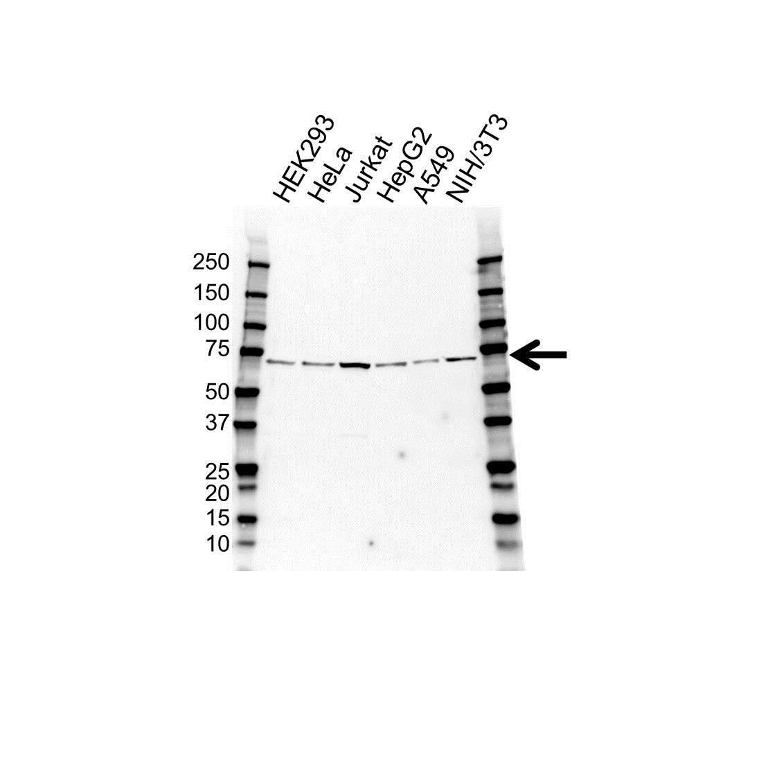 Anti Glutamate Decarboxylase 1 Antibody (PrecisionAb Polyclonal Antibody) gallery image 1