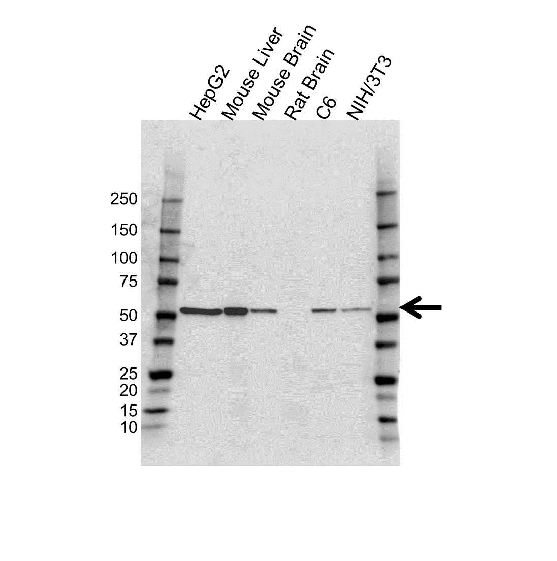 Anti Glutamate Dehydrogenase 1 Antibody (PrecisionAb™ Polyclonal Antibody) gallery image 1