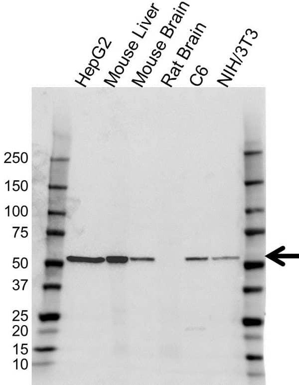 Anti Glutamate Dehydrogenase 1 Antibody (PrecisionAb Polyclonal Antibody) gallery image 1