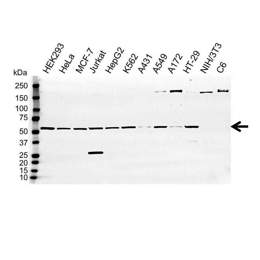 Anti GPI Antibody (PrecisionAb Polyclonal Antibody) gallery image 1