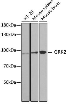 Anti GRK2 Antibody thumbnail image 1