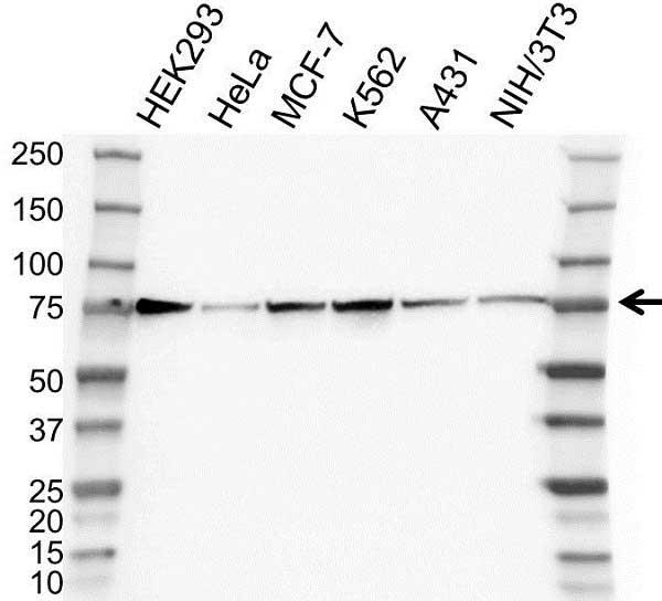 Anti GRP75 Antibody (PrecisionAb Polyclonal Antibody) gallery image 1