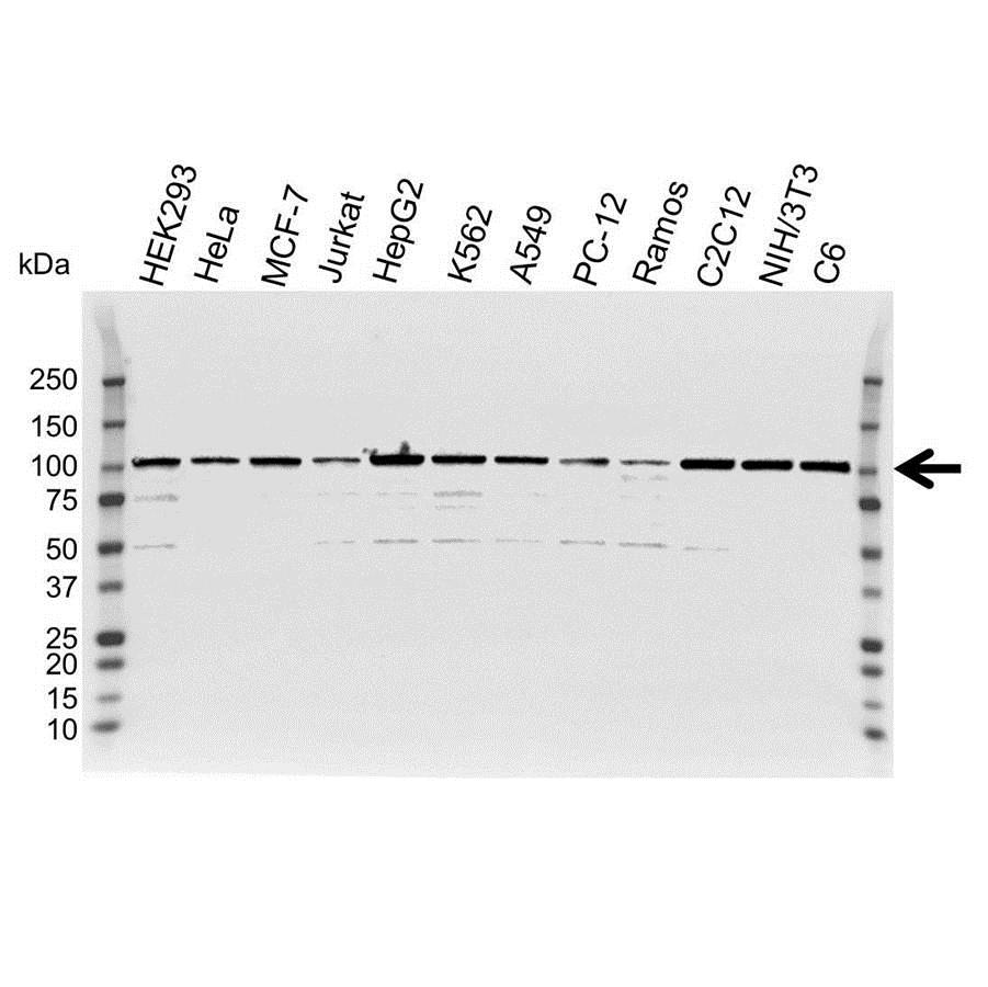 Anti GRP94 Antibody (PrecisionAb Polyclonal Antibody) gallery image 1