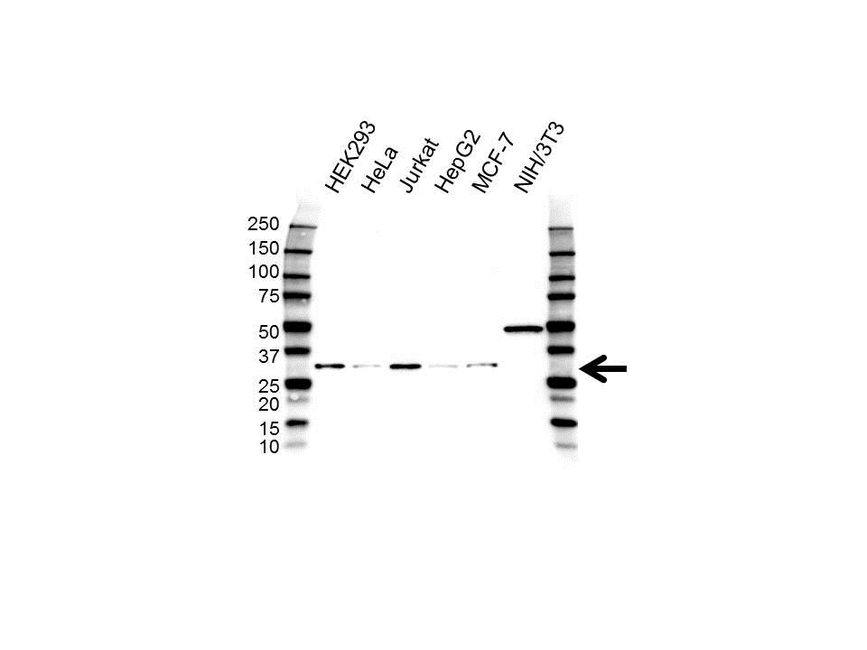 Anti H1FX Antibody (PrecisionAb™ Polyclonal Antibody) gallery image 1