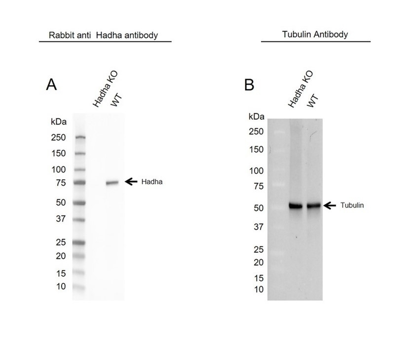 Anti Hadha Antibody (PrecisionAb Polyclonal Antibody) thumbnail image 2
