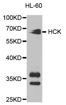 Anti Hck Antibody gallery image 1