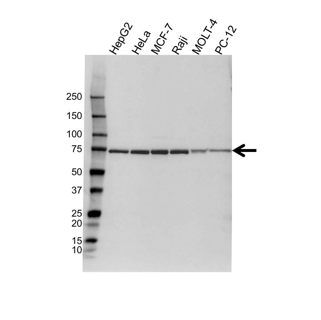 Anti Heat Shock 70 Kda Protein 1-Like Antibody (PrecisionAb Polyclonal Antibody) gallery image 1
