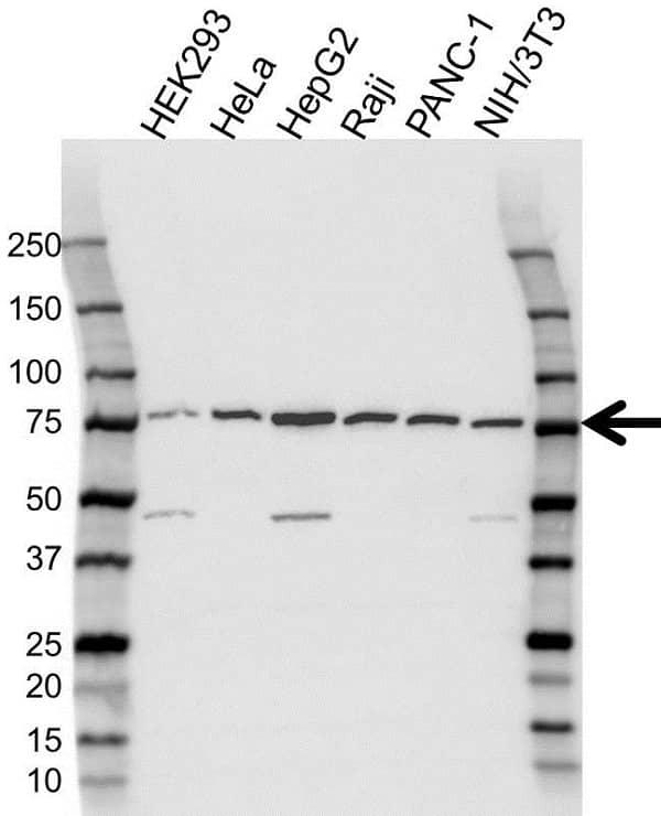 Anti Heat Shock 70 Kda Protein 5 Antibody (PrecisionAb Polyclonal Antibody) gallery image 1
