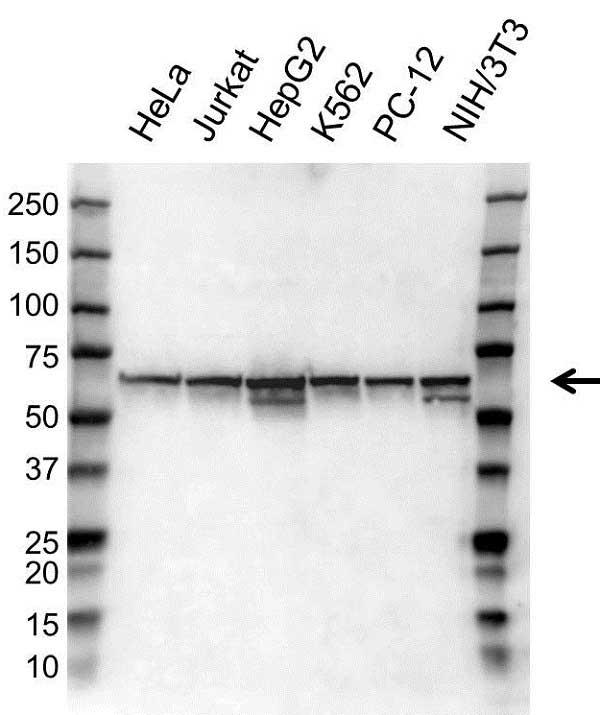 Anti Heat Shock Protein 60 Antibody (PrecisionAb Polyclonal Antibody) gallery image 1
