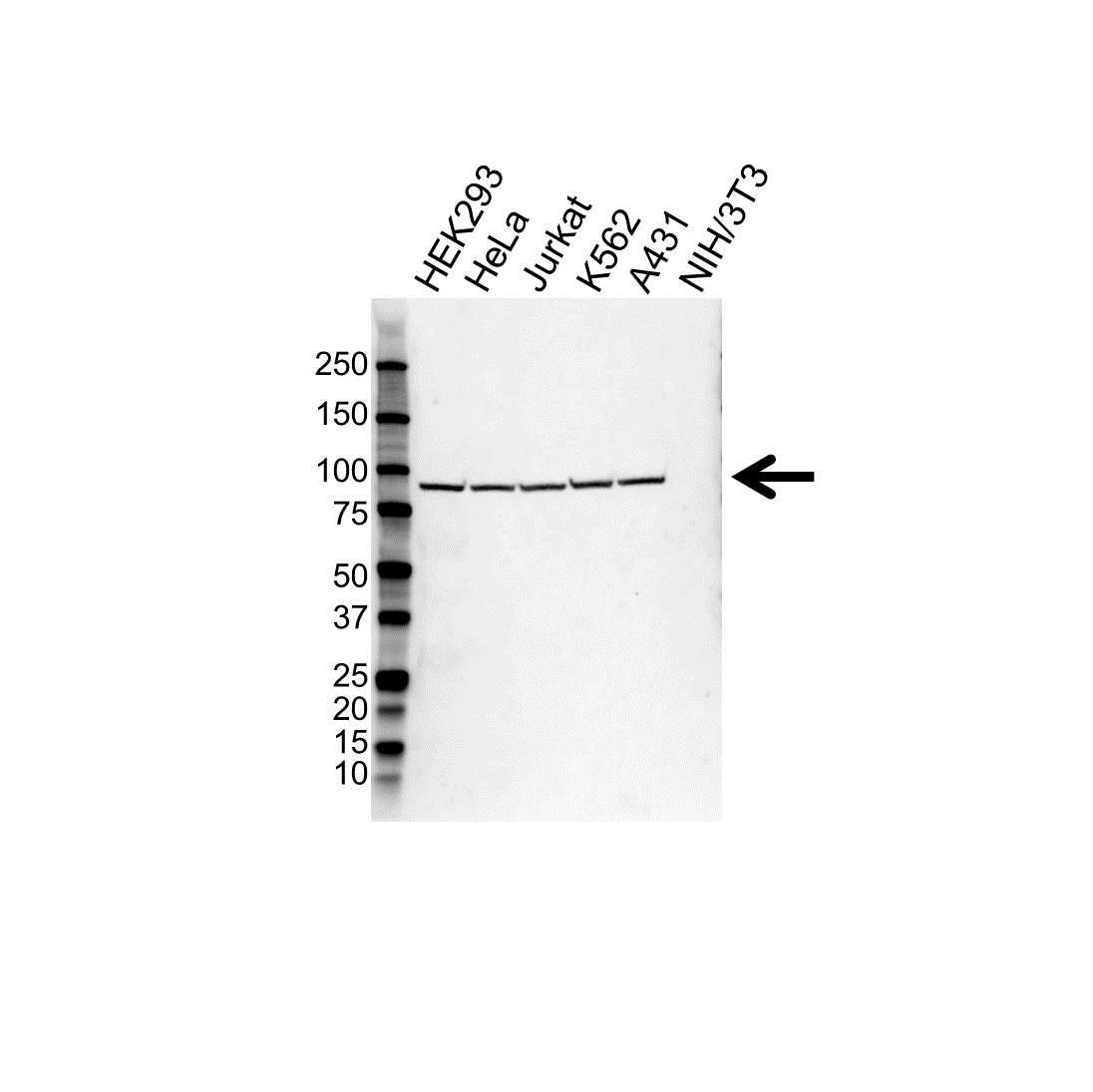 Anti Heat Shock Protein 90 Beta Antibody (PrecisionAb™ Polyclonal Antibody) gallery image 1