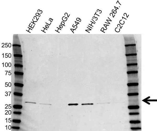 Anti Heme Oxygenase 1 Antibody (PrecisionAb Polyclonal Antibody) gallery image 1