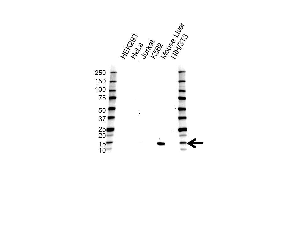 Anti Hemoglobin Subunit Epsilon Antibody (PrecisionAb Polyclonal Antibody) gallery image 1