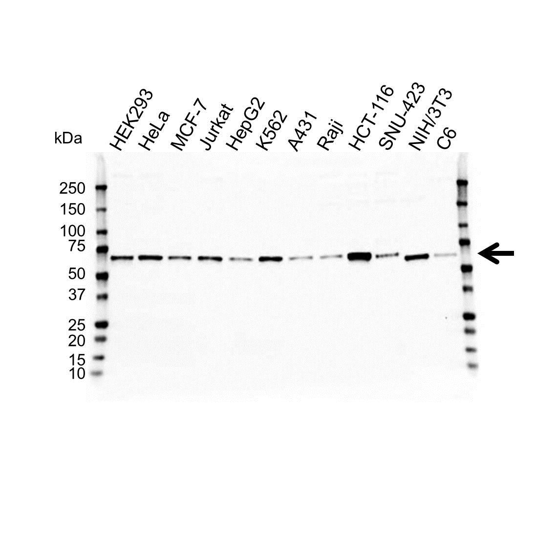 Anti HEXIM1 Antibody (PrecisionAb™ Polyclonal Antibody) gallery image 1